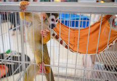 Una scimmia scoiattolo con il suo posto letto per ricoveri giornalieri fotografie stock