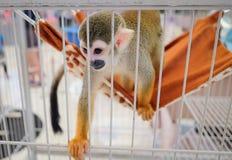 Una scimmia scoiattolo con il suo posto letto per ricoveri giornalieri Fotografia Stock Libera da Diritti