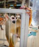 Una scimmia scoiattolo in una gabbia Fotografia Stock