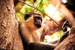 Una scimmia si siede nell'albero immagine stock libera da diritti