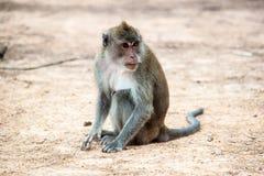 Una scimmia si siede sulla terra fotografia stock