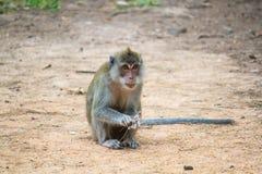 Una scimmia si siede sulla terra immagine stock