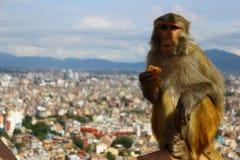 Una scimmia sta mangiando fotografie stock
