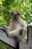 Una scimmia sta sedendosi su un corrimano di legno Fotografia Stock