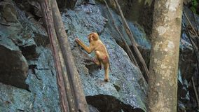 Una scimmia su una roccia della roccia beve l'acqua in una foresta tropicale stock footage
