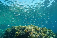 Una scuola del boops boops del pesce della boga subacqueo fotografia stock libera da diritti