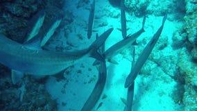 Una scuola del pesce caraibico enorme del tarpone sul fondo del mare al rallentatore archivi video