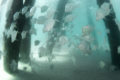 Una scuola del pesce Lookdown sotto un pilastro fotografie stock libere da diritti