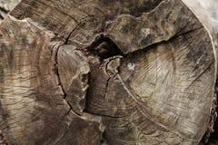 Una sección radial de un tronco de árbol fotografía de archivo