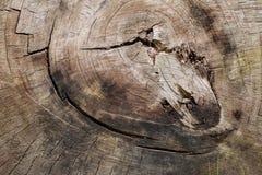 Una sección radial de un tronco de árbol imagenes de archivo