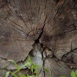 Una sección radial de un tronco de árbol foto de archivo libre de regalías