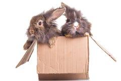 Una seduta adorabile di due del leone della testa bunnys del coniglio Immagini Stock Libere da Diritti