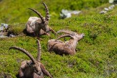 Una seduta alpina maschio naturale di tre capricorni di capra ibex rilassata Fotografie Stock Libere da Diritti