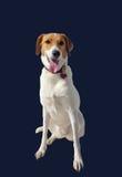 Una seduta bianca del cane Immagini Stock Libere da Diritti