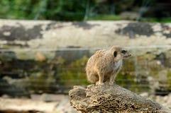 Una seduta del meerkat Fotografie Stock Libere da Diritti