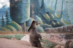 Una seduta dell'orso bruno fotografia stock