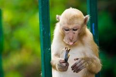 Una seduta della scimmia Fotografia Stock