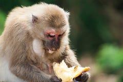 Una seduta della scimmia Immagine Stock Libera da Diritti