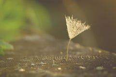Una semilla del diente de león del niño en la puesta del sol Foto de archivo libre de regalías