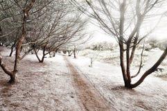 Una senda para peatones entre la plantación del Casuarina Imagen de archivo