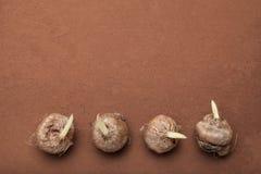 Una serie de bulbos brotados de flores en un fondo marrón, espacio de la copia foto de archivo