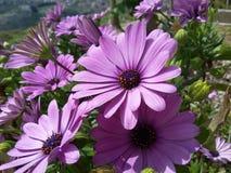 Una serie de flores púrpuras de la primavera en día soleado Imagen de archivo libre de regalías