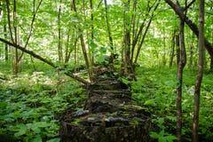 Una serie di ceppi di legno coperti di muschio nella foresta Immagini Stock