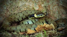 Una serpiente de hierba imagen de archivo libre de regalías