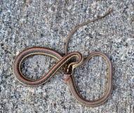 Una serpiente de liga común arrollada para arriba imagen de archivo