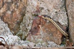 Serpiente de liga del este Imagenes de archivo
