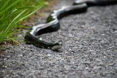 Una serpiente de rata que viaja en un camino a lo largo de la hierba imágenes de archivo libres de regalías