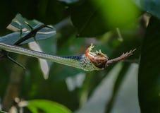 Una serpiente del árbol del bronzeback mató a una rana imagen de archivo