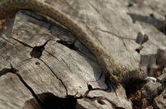 Una serpiente salvaje que va abajo de un tronco de árbol Fotografía de archivo libre de regalías