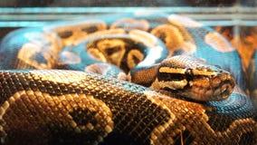 Una serpiente venenosa caza a su víctima y espera la hora correcta almacen de metraje de vídeo