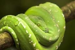 Serpiente venenosa Foto de archivo libre de regalías