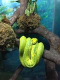 Una serpiente verde Imagen de archivo libre de regalías