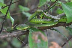 Una serpiente virulenta Fotos de archivo libres de regalías