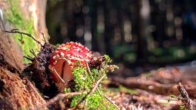 Una seta manchada rojo crece en el lado de un tronco de árbol de la descomposición en un piso verde enorme del bosque imagen de archivo libre de regalías