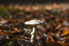 Una seta no comestible que crece en el bosque durante el otoño Imagenes de archivo