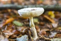 Una seta no comestible que crece en el bosque durante el otoño Imágenes de archivo libres de regalías