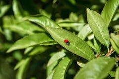 Una signora Bug striscia lungo una foglia dell'albero da frutto che cerca l'alimento fotografie stock