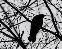 Una siluetta del corvo fotografia stock libera da diritti