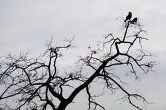 Una siluetta di due corvi che si siedono su un branche dell'albero immagine stock libera da diritti