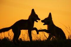 Una siluetta di due volpi di gioco al tramonto fotografia stock