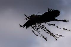 Una siluetta di un airone cenerino in volo con un ramo in suo becco fotografia stock libera da diritti