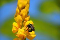 Una singola ape sul fiore giallo immagini stock libere da diritti