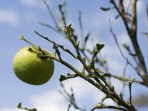 Una singola arancia non matura su un albero di cui le foglie sono state mangiate dalle formiche Fotografia Stock