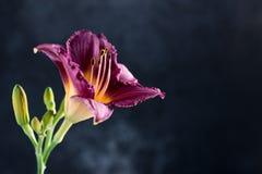 Una singola fioritura del fiore del giglio Fotografia Stock
