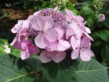 Una singola fioritura di Hydrandea non abbastanza a sviluppo completo immagine stock libera da diritti