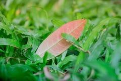 Una singola foglia che riposa sopra l'iarda che è caduto da un albero dopo la tempesta della pioggia Questa giovane e scena vibra Fotografia Stock
